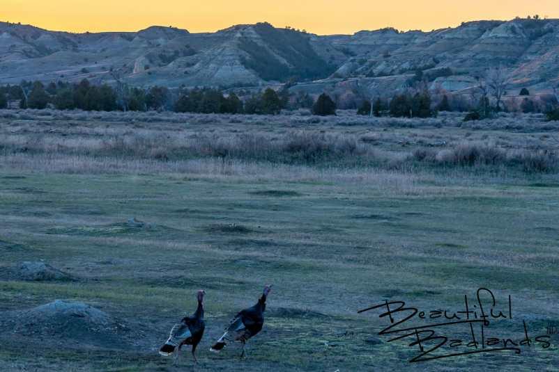 Sunset On the Turkeys and Prairie Dogs in North Dakota