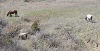 Wild Horses, Not Far Into Theodore Roosevelt National Park in North Dakota