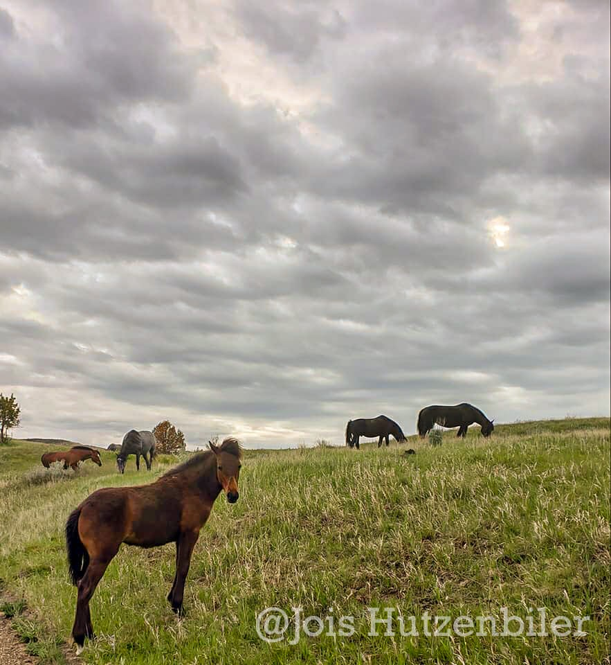 Wild Horses of Theodore Roosevelt National Park 11, Jois Hutzenbiler