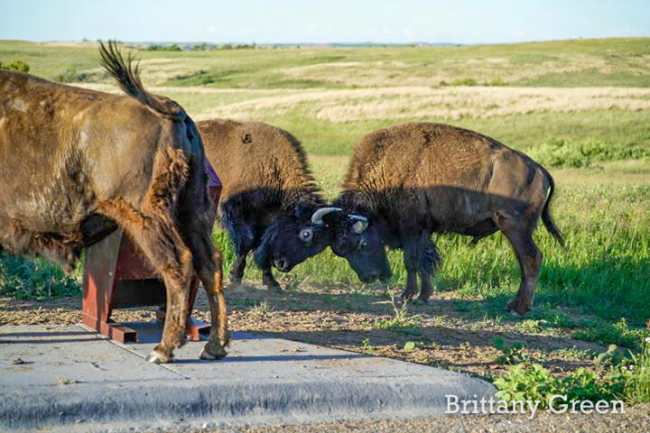 Two Bison Tie Up at Theodore Roosevelt National Park, South Unit. By Brittany Green