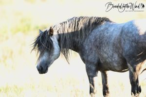 Loving the Free Roaming Horses of Theodore Roosevelt National Park, by Amy White