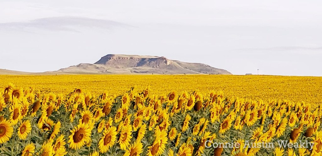 Sunflowers in Slope County, by Connie Austin Weakly
