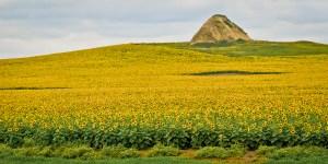 Sunflower Hill in Western North Dakota