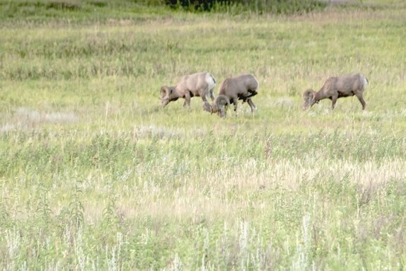 bighorn sheep graze in pasture