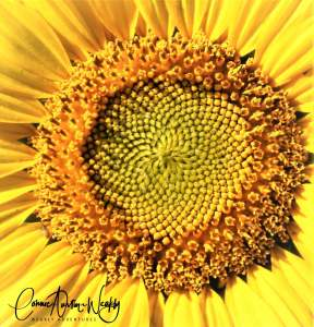 Brilliant Sunflower Center by Connie Austin Weakly. September 2019