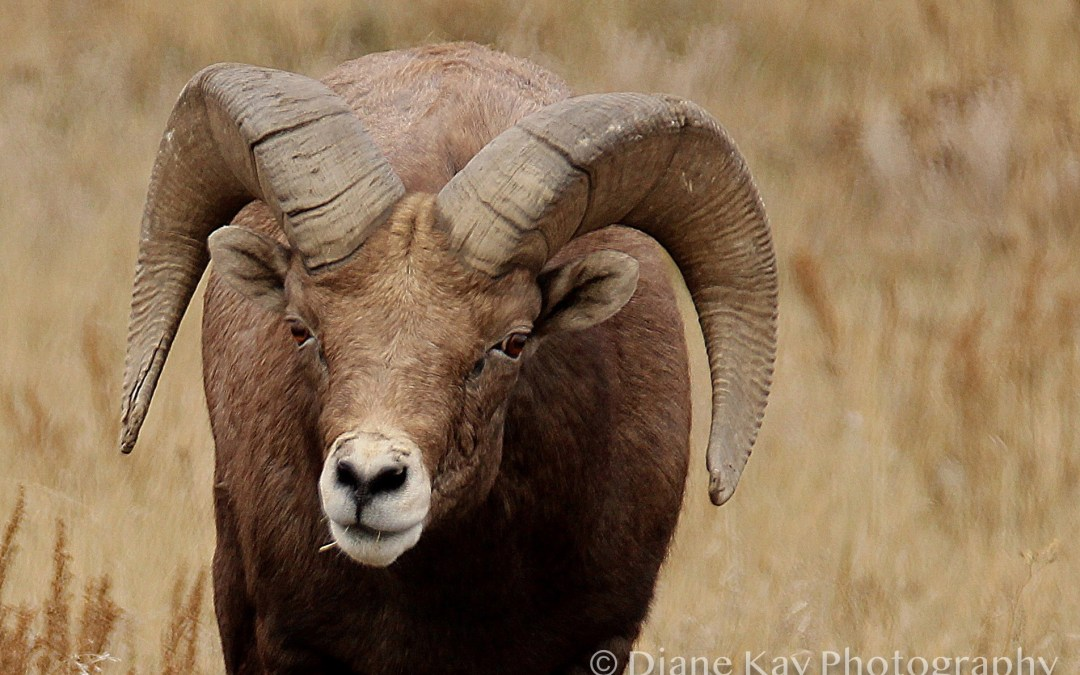Huge Horns! Bighorns in the Badlands of North Dakota!