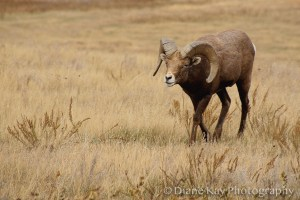 Ram Big Horn Sheep Walks in the Grasslands of Western North Dakota