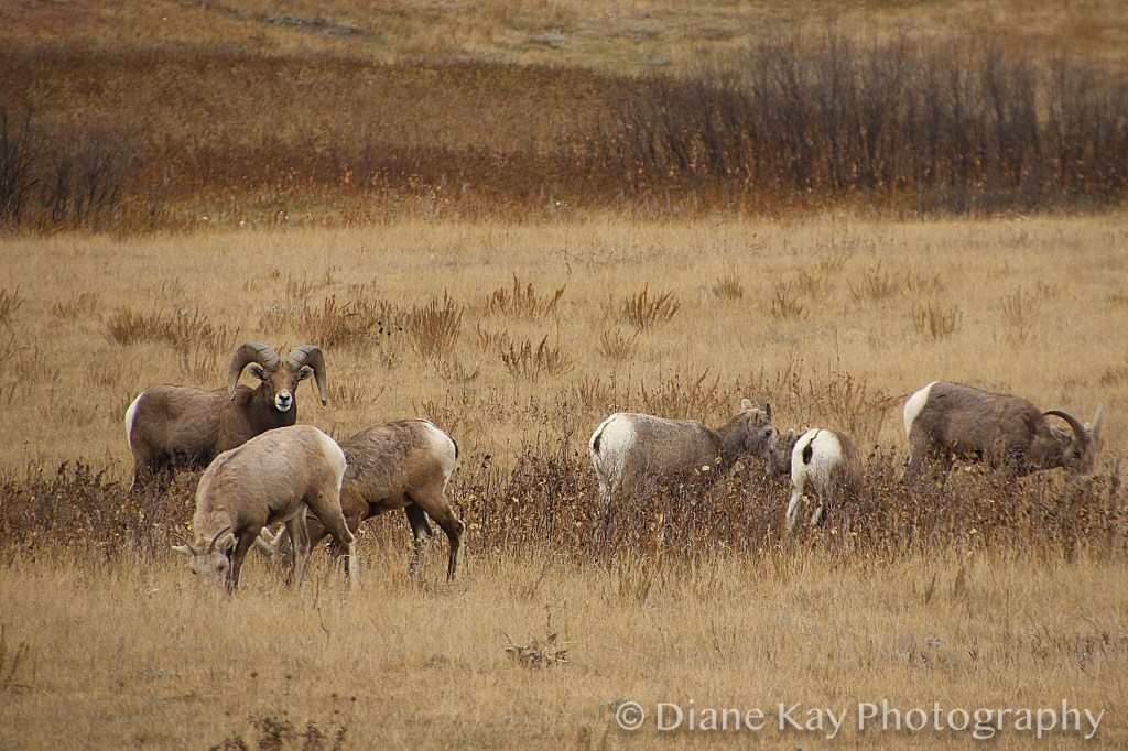 Ram and Ewes in the Badlands of North Dakota