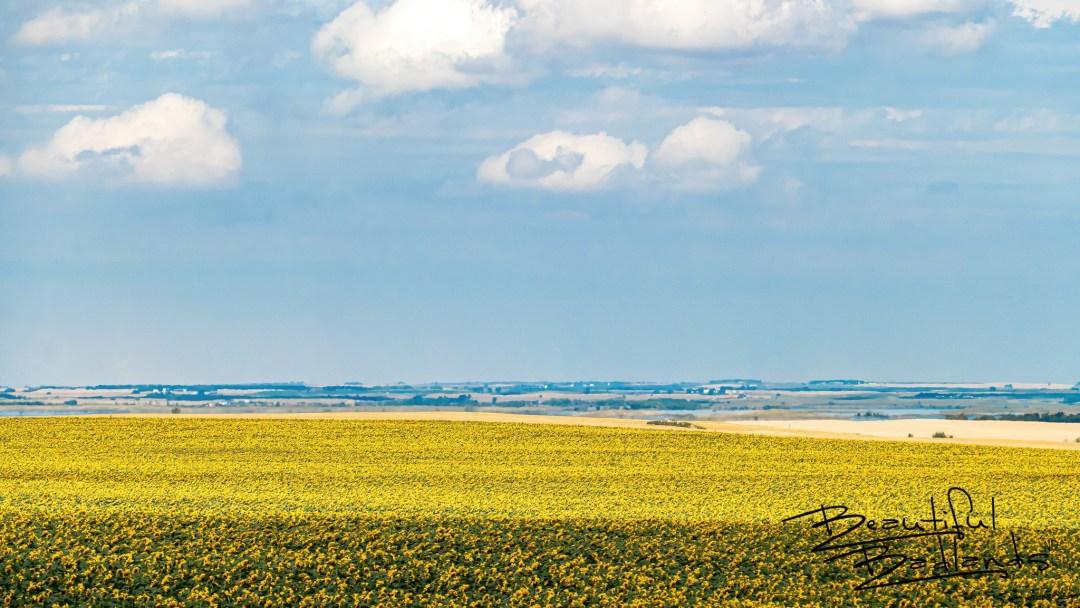 Sunflowers, Wheat, Canola, Lake Sakakawea and Big Blue Skies, North Dakota
