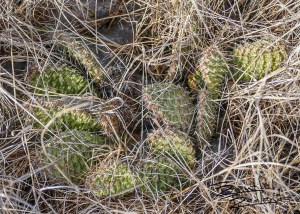 Green Cactus, Sign of Spring in the Badlands, North Dakota
