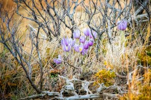 crocuses in the brush