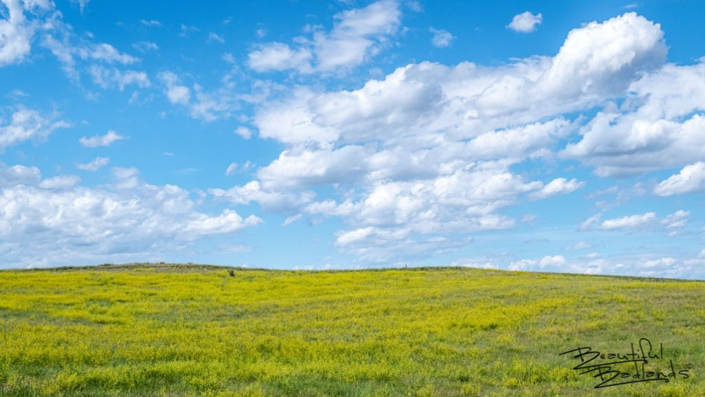 Bright blue skies on a June afternoon complement the brilliant yellow of blooming wild yellow clover in June in the grasslands and badlands of western North Dakota.