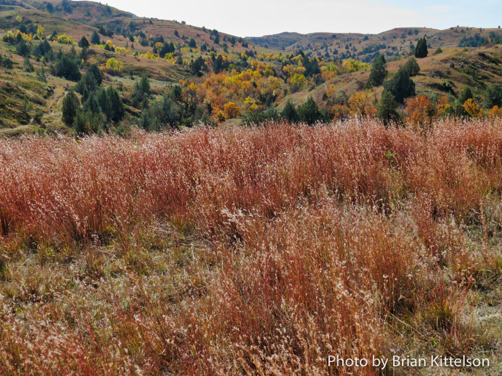 Deep orange grasses cover grassland slopes and mingle with colored trees in the fall in the Badlands.