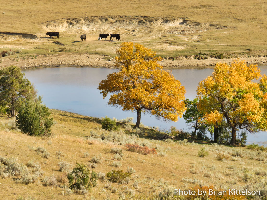 Cattle roam freely on the open range which covers most of the Maah Daah Hey Trail.