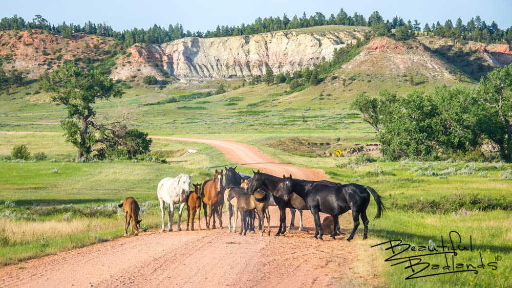 When we reached the crest of a hill in this distinctively beautiful area of the North Dakota Badlands, we couldn't help but smile at the living road block ahead. What a serene and peaceful sight to see these horses in such an inviting summer green setting. We drove very slowly to them, none of them even shifting their position. They merely glanced at us as we carefully drove around them. It might be our imagination, but it seemed that more than one of these beauties nodded as we passed. Another great drive through the Beautiful Badlands of North Dakota ! Meet another herd of special horses in the badlands. They're wild! Go here: https://wp.me/p8zmWn-1l0 Purchase this photo here: http://bit.ly/3pCgNcH