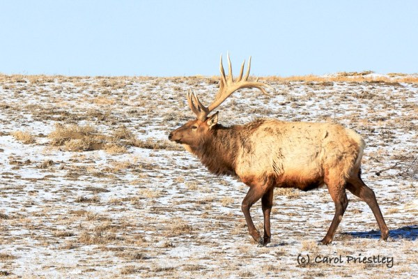 Male Elk on a Bright Winter Day in Theodore Roosevelt National Park, North Dakota. February, 2021 Photograph by Carol Priestley.