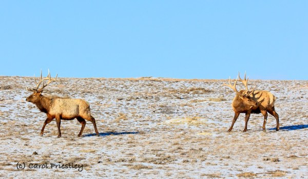 Two male elk roam across a prairie dog town in the North Dakota badlands on a cold February day in Theodore Roosevelt National Park, North Dakota. Photographed by Carol Priestley.