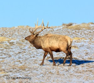 A majestic male elk in the South Unit of Theodore Roosevelt National Park, North Dakota, meanders across a prairie dog town as is searches for food on -15 degree winter day. February 13, 2021 Photo by Carole Priestley.