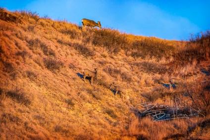 four mule deer on hill south unit golden hour