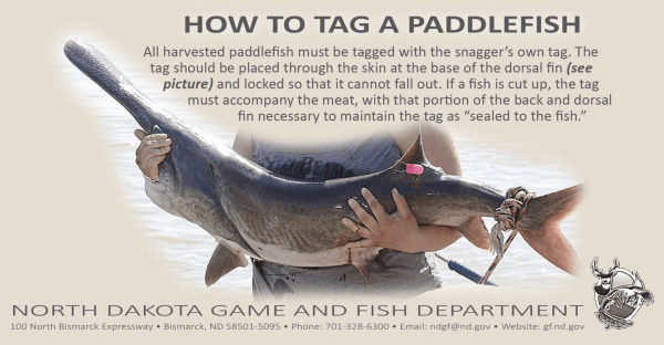 How to Tag a Paddlefish, information from the North Dakota Game and Fish Department. Find more information here: https://bit.ly/3xi8UxS