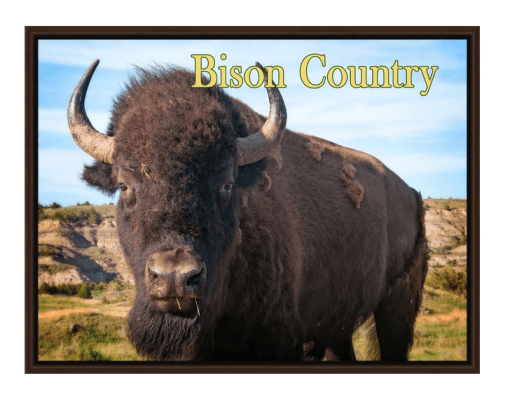 Bison Country! Bison Up Close in Color with Gold Text Walnut Floating Frame Canvas