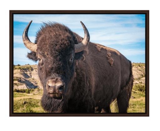 Bison Up Close! Full Color Walnut Floating Frame Canvas Wrap
