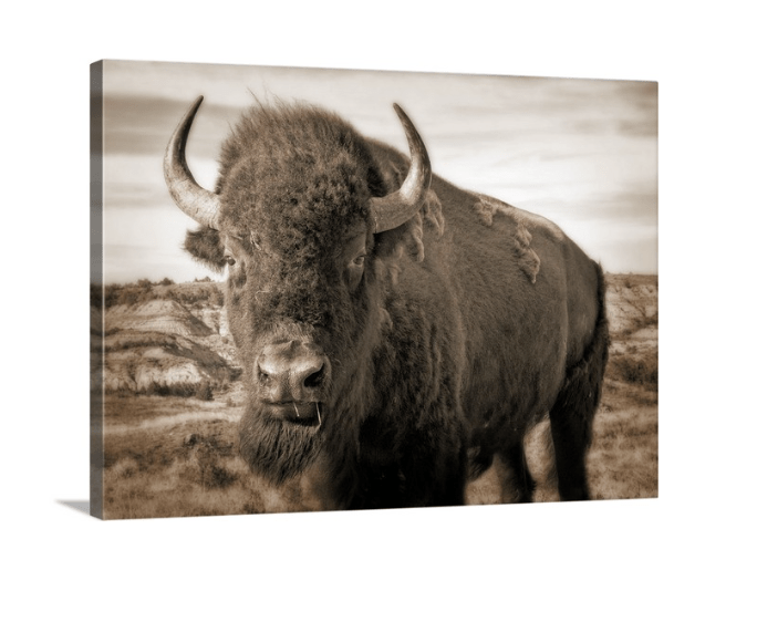 Bison Up Close - Sepia Canvas Wrap