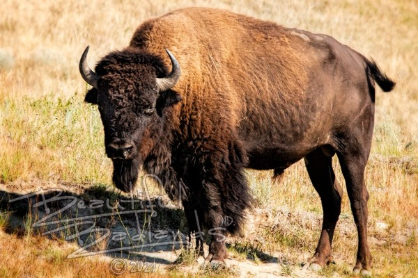 bison bull stares at us when we are hiking in the North Unit of Theodore Roosevelt National Park, North Dakota