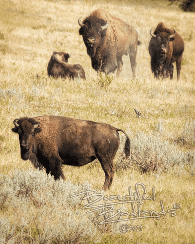 bison, Theodore Roosevelt National Park, buffalo, fall