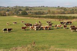 Cattle, Symonds Yat