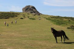 Dartmoor pony, path to Haytor, Dartmoor