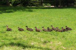 Ducks, Benington