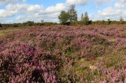 Heather, White Moor, near Lyndhurst, New Forest
