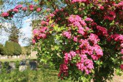 Pink Hawthorn Blossom, St. Leonard's Churchyard, Old Warden