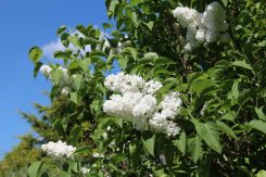 White lilac tree, Shepperton