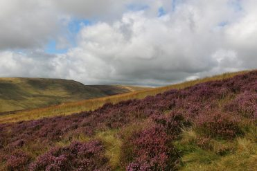 Heather, from path to Pen y Fan, Brecon Beacons