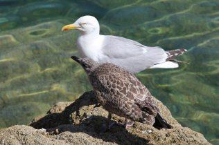 Herring Gulls, River Fowey, Fowey