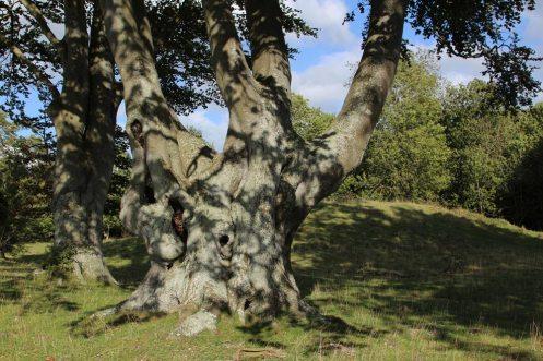 Beech tree and King Barrow, Stonehenge Down, Stonehenge
