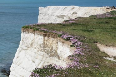 Sea thrift, chalk cliffs, East Cliff, Seaford