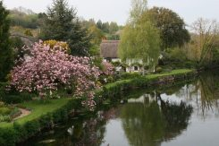 Cherry blossom, Bickleigh Cottage, River Exe, Bickleigh