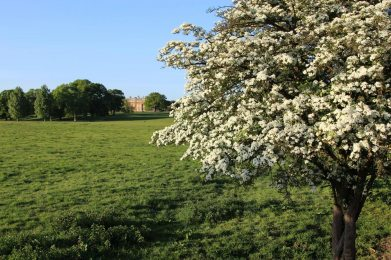 May blossom, Turvey House and grounds, Turvey