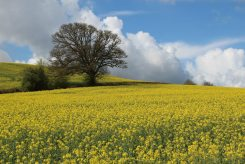 Oilseed rape fields, near Bickleigh
