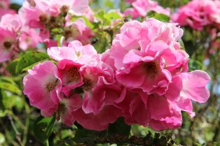 Wild roses, Lustleigh