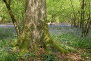 Bluebell wood, near Wherwell