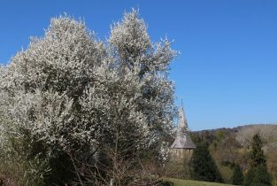 May blossom and St. James' Church, Shere