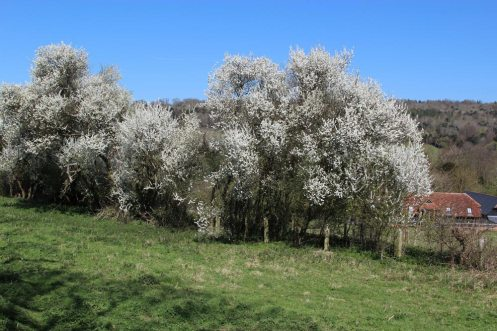 May blossom, Shere