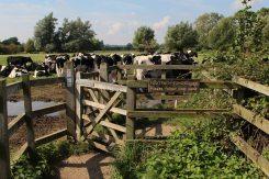 Cows on footpath to Dedham, Flatford