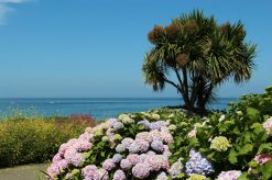 Hydrangeas, overlooking Porthmeor Beach, St. Ives