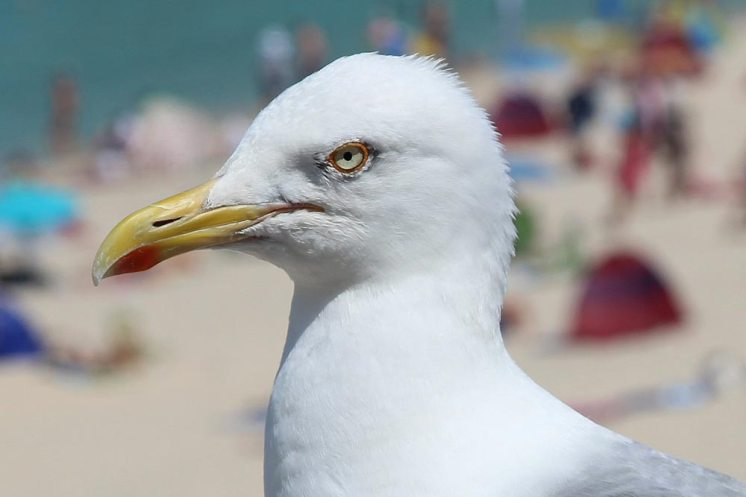 Seagull, Porthmeor Beach, St. Ives