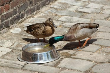 Thirsty ducks, Stable Courtyard, Osterley Park and House, Isleworth